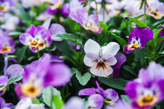 Purple and white pansies on a background of lush green. Some beautiful violets in the flower bed. Macro shooting Royalty Free Stock Image