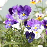 Purple and white pansies Stock Photos