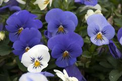 Purple and white pansies. Its springtime in the garden, Sydney Australia Royalty Free Stock Photo