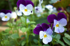 Purple and White Pansy flowers royalty free stock photo
