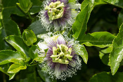 Purple and white passionflower Stock Images