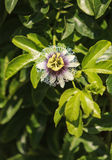 Purple and white passionflower fruit, Passiflora incarnate. Booms on the green vine in summer stock photography