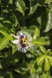Purple and white passionflower fruit, Passiflora incarnate. Booms on the green vine in summer royalty free stock images