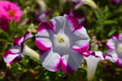 Purple and White Petunia Flower. Bloom in sun Royalty Free Stock Photography