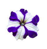 Purple and white petunia flower Royalty Free Stock Image