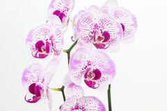 Purple and white Phalaenopsis orchids close up Royalty Free Stock Photography