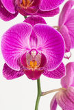 Purple and white Phalaenopsis orchids Stock Images