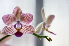 Purple and White Phalenopsis Orchid Flowers on Light Background stock images