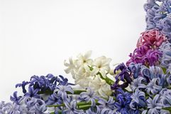 Purple, white and pink hyacinth on white backgrounds. Flowers of hyacinth on white background. Big group of flowers royalty free stock image