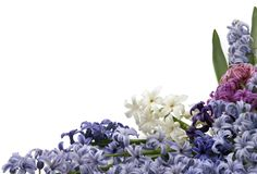 Purple, white and pink hyacinth on white backgrounds. Flowers of hyacinth on white background. Big group of flowers as frame stock image