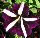purple and white pinwheel petunia Stock Image