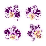 Purple-white Spotted Orchids Phalaenopsis    beautiful flowers set second vintage on a white background  vector illustration close Stock Images