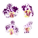 Purple-white Spotted Orchids Phalaenopsis beautiful flowers set three vintage on a white background vector illustration closeu Royalty Free Stock Images