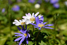 Purple and white spring daisies. Manny plants share the name `daisy`. This is a close-up about spring blooming daisies stock image