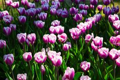 Purple and white spring tulips blooming in a garden. Purple and white spring tulips blooming in a spring garden stock photo