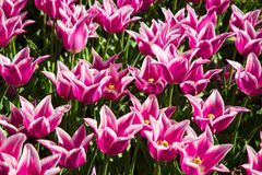 Purple and white spring tulips blooming in a garden. Purple and white spring tulips blooming in a spring garden stock photos