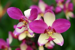 Purple White Stripe Orchid Royalty Free Stock Photo