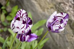 Purple and white striped tulips  in the flower bed. Blurred background stock image