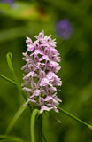 Purple and white Swiss orchid Royalty Free Stock Photos