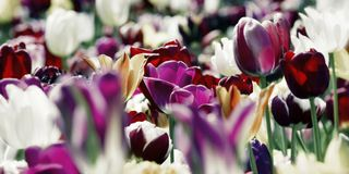 Purple and white tinted tulips concept Royalty Free Stock Photography