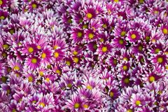 Purple with White Tip Daisy Flowers - Chiang Rai, Thailand. Purple with White Tip Daisy Flowers in Chiang Rai, Thailand royalty free stock images