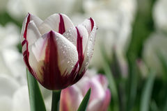 Purple white tulip Stock Image