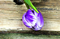 Purple and white tulip Stock Image
