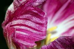 Purple and White Tulip Swirl Stock Image