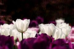Purple and white  tulips. Purple and white tulips in the garden in the spring in the park during the festival Royalty Free Stock Photos