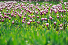Purple  white Tulips Royalty Free Stock Images