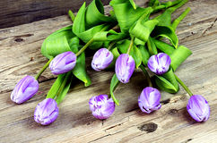 Purple and white tulips Stock Photos