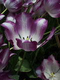 Purple and white tulips. Peering into the tulip Royalty Free Stock Image