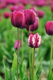 Purple and white tulips in skagit valley field Royalty Free Stock Images