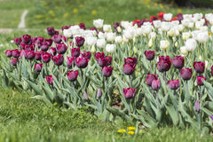Purple and white tulips in a spring garden Stock Image