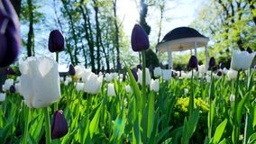 Purple and white tulips in the yard near the arbours.  stock video footage