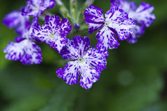 Purple and White Verbena. A close up of purple and white verbena blooms Stock Photos