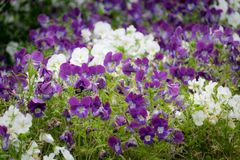Purple and white Viola flowers in the garden. royalty free stock photos