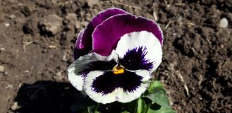 Purple and white Viola tricolor flower royalty free stock image