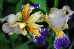 Purple, white and yellow couple iris flowers blooming, blurry green leaves background. Top view royalty free stock images