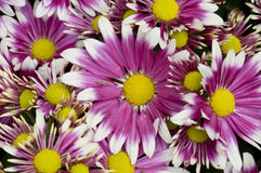 Purple white and yellow daisy flowers Stock Image
