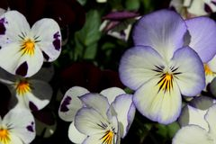 Purple, white and yellow pansy flowers Royalty Free Stock Photo