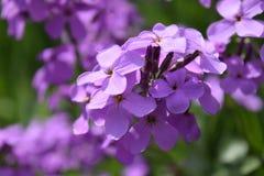 Purple widflowers. Purple wildflowers on side of road Royalty Free Stock Images