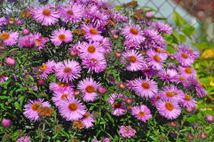 purple wild asters Royalty Free Stock Photography