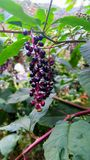 Purple Wild Berries in Fall Royalty Free Stock Photo