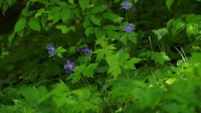Purple wild carnation flowers sway in the wind.  stock video