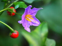 Purple wild eggplant flowers Stock Image