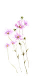 Purple wild field flowers on white background Royalty Free Stock Images