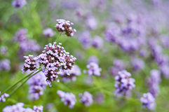 Purple wild flower. Royalty Free Stock Photos