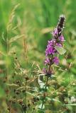 Purple wild flower Royalty Free Stock Image