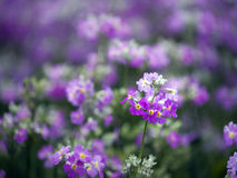 Purple wild flower field near mountain in Chiang Mai, Thailand Royalty Free Stock Images